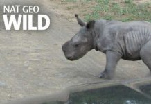 Cute Baby Rhino vs Car 1