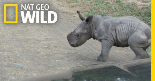 Cute Baby Rhino vs Car 1
