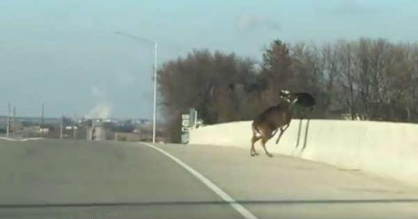 Deer Leap Jump Bridge Death Motorcyclist Witness 1