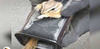 Man Saved Scared Chipmunk Stuck Truck Hitch 2