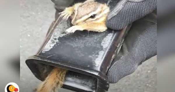 Man Saved Scared Chipmunk Stuck Truck Hitch 2