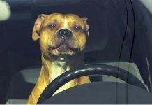 New Law - Its A Felony To Leave A Pet In Your Hot Car 2