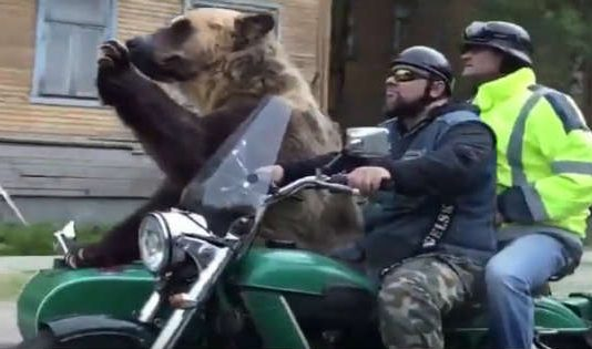 Only in Russia Bear Riding in Motorcycle Sidecar 1